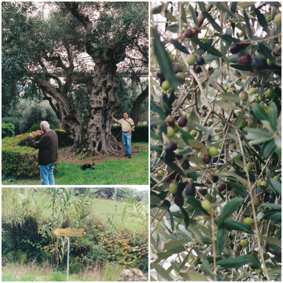 During our trip, we visited an olive tree that was authenticated to be ...